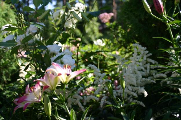 ensimmäinen kukkani, Helsingin puutarhamessuilta 2000 Lilium Lollypop 10 sipulia