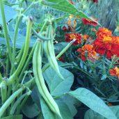 Oman ruoan kasvatus on saanut yhä tärkeämmän roolin puutarhan hoidossa.