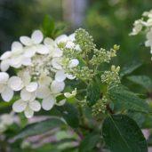 Kaikki hortensiat ovat ihania, Mustialan hortensia ehkä se ihanin.