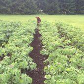 Oman ruoan kasvattaminen alkoi perunanviljelyllä.