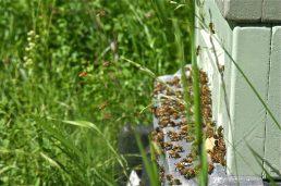 Aurinkoisella ilmalla mehiläiset olivat työntouhuissa ja hyvällä tuulella.